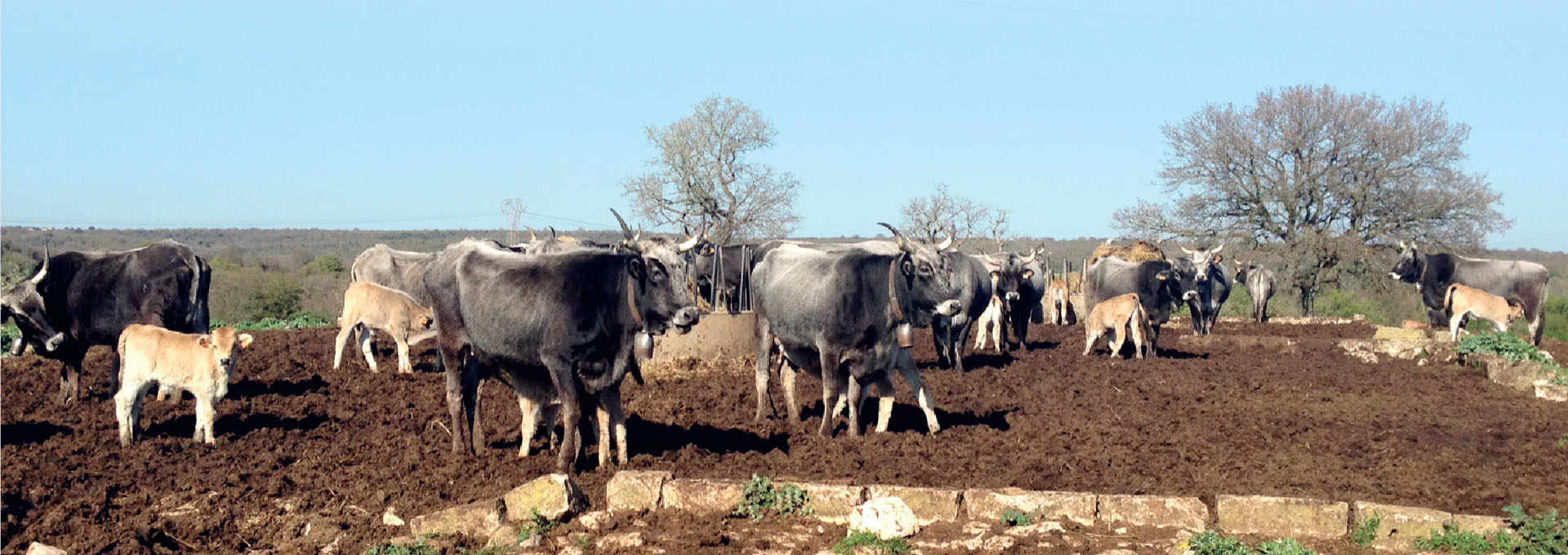 The Quality Milk and Meat of the Podolica Cattle Breed